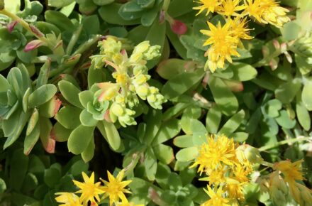 Sedum- Low Maintenance Plants