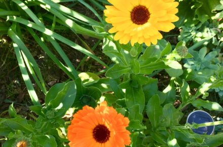 Calendula - Low maintenance plants