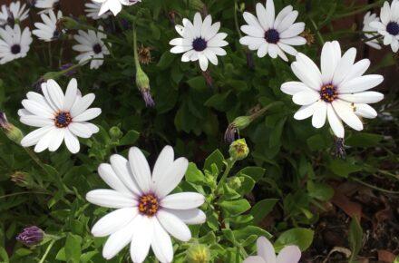 white daisy for a moon garden